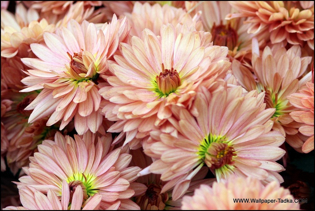 Chrysanthemum or  Guldaudi Flowers in Your Garden (160)