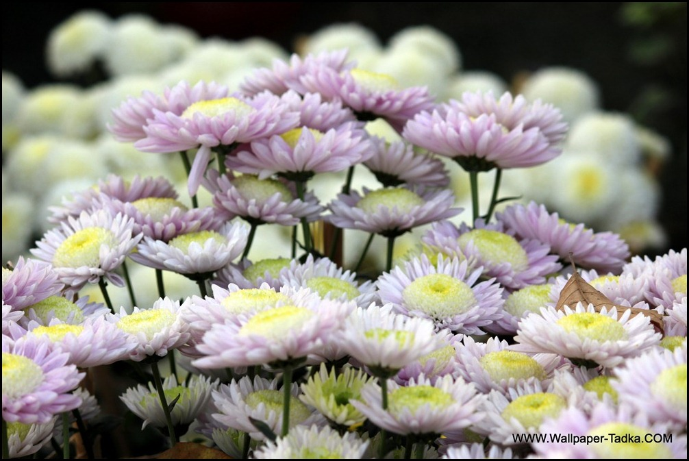 Chrysanthemum or  Guldaudi Flowers in Your Garden (161)
