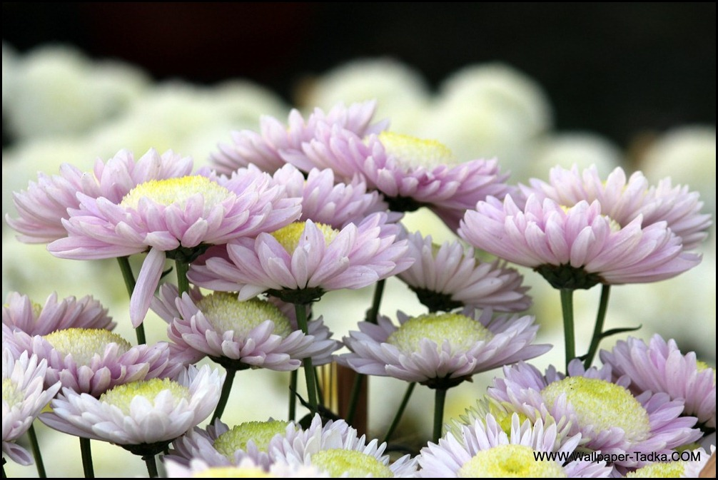 Chrysanthemum or  Guldaudi Flowers in Your Garden (162)