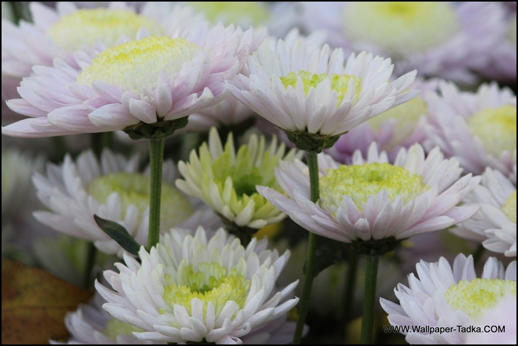 Chrysanthemum or  Guldaudi Flowers in Your Garden (163)
