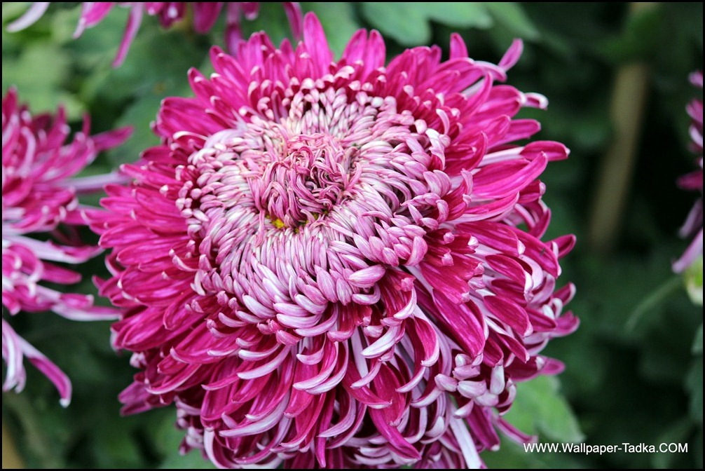 Chrysanthemum or  Guldaudi Flowers in Your Garden (164)