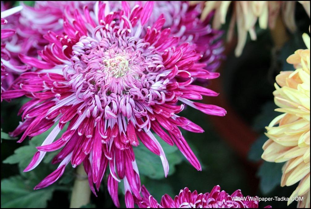 Chrysanthemum or  Guldaudi Flowers in Your Garden (165)