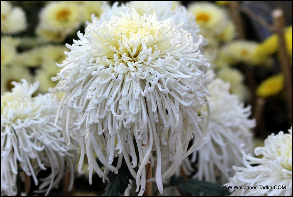 Chrysanthemum or  Guldaudi Flowers in Your Garden (167)