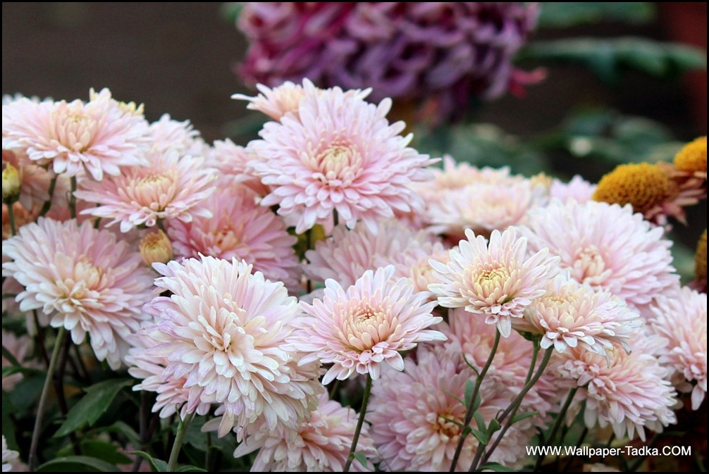 Chrysanthemum or  Guldaudi Flowers in Your Garden (169)