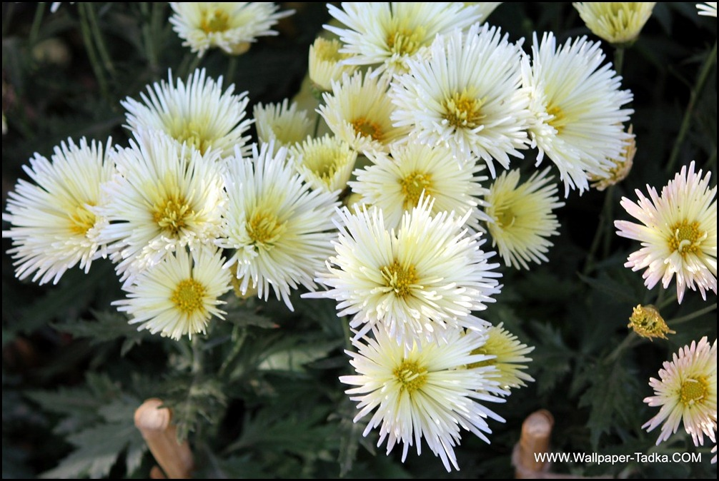 Chrysanthemum White Flower
