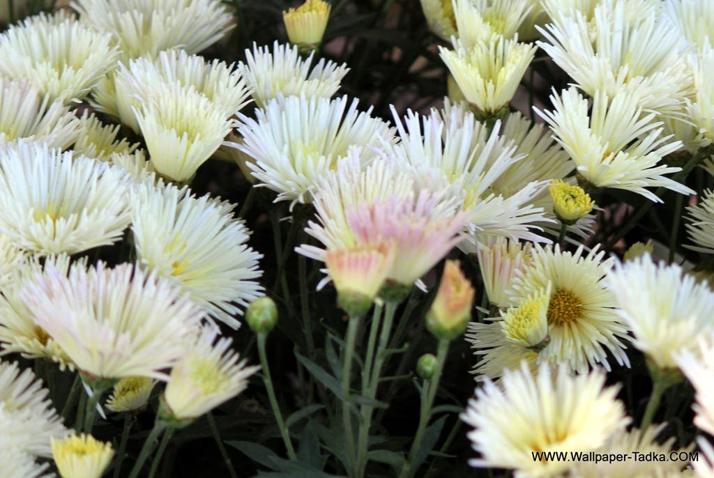 Beautiful chrysanthemum white flower wallpaper wallpaper tadka beautiful chrysanthemum white flower mightylinksfo