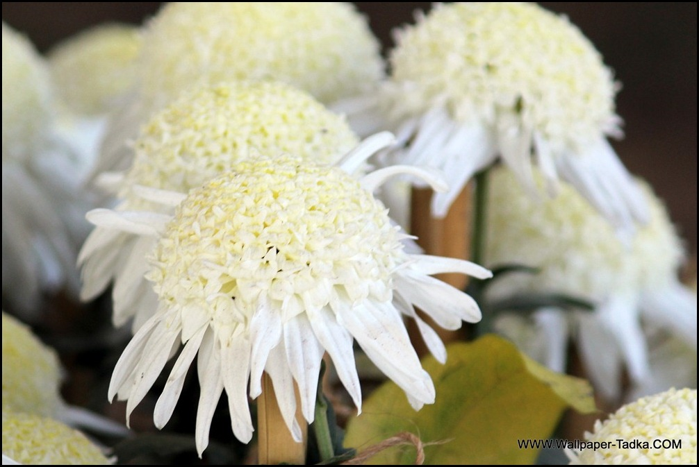 Chrysanthemum White Color Flower Wallpaper
