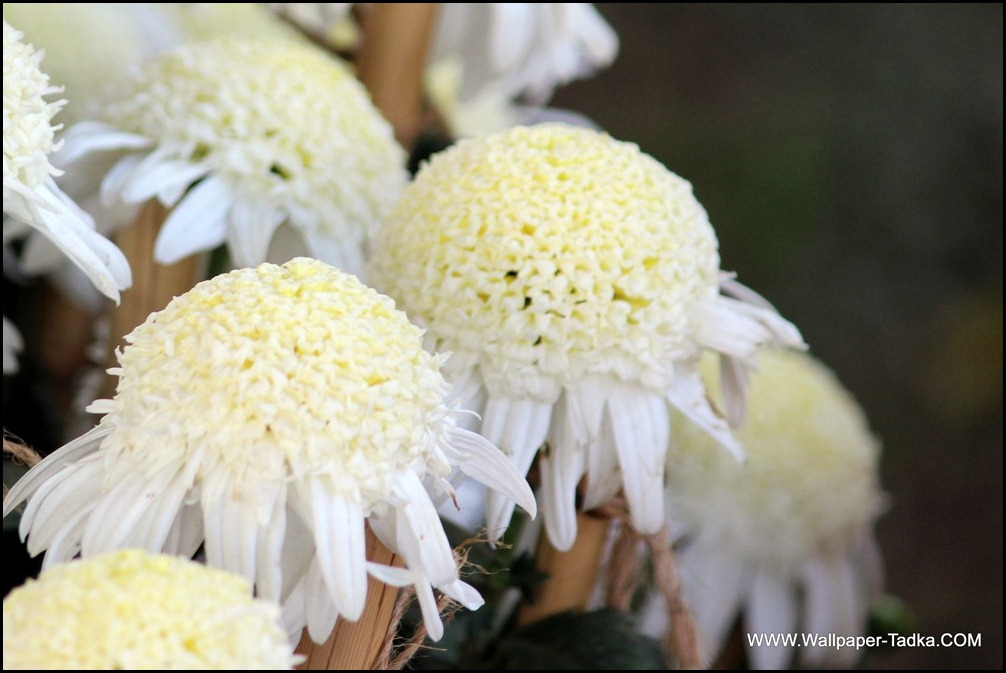 Chrysanthemum White Flower Wallpaper