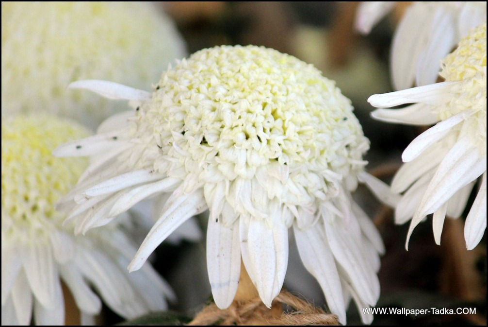 Chrysanthemum White Color Flower