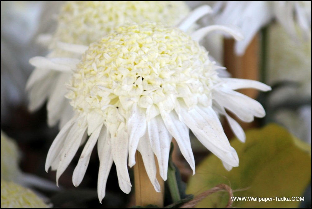 White Beautiful Chrysanthemum