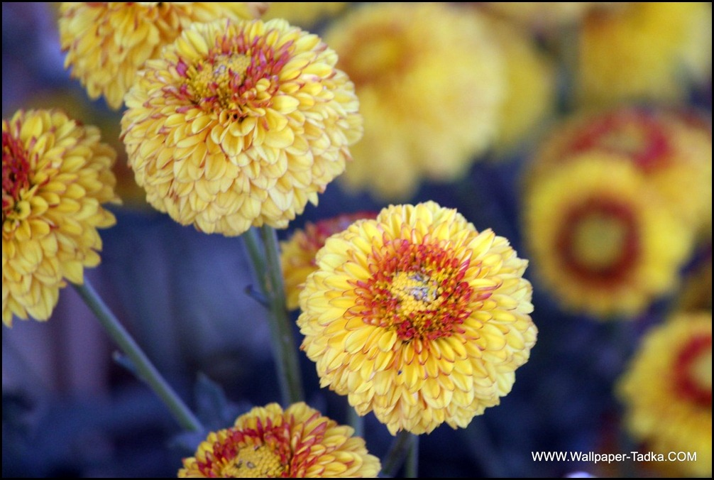 Chrysanthemum Flowers Image