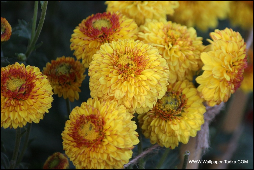 Amazing Yellow Red Guldaudi Flowers Image