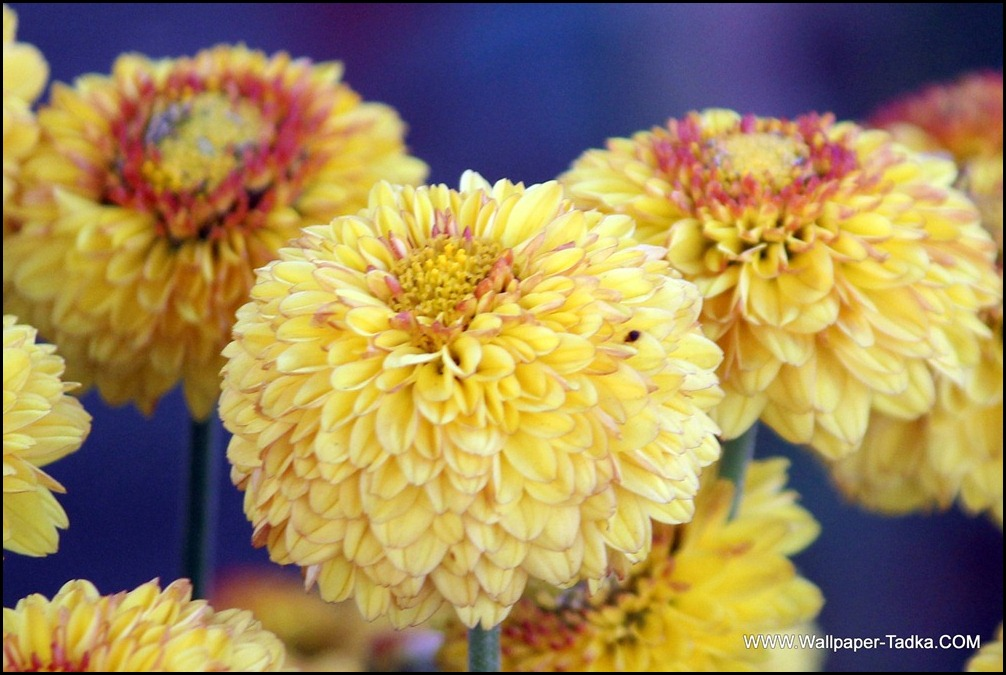 Lovely Yellow Color Chrysanthemums