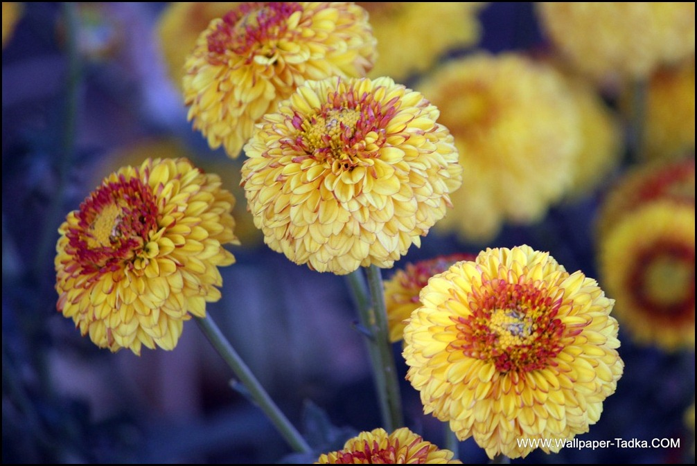 Yellow and Red Color Chrysanthemum Flower