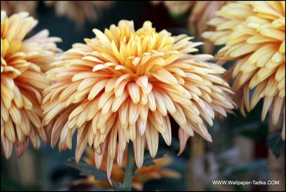 Wallpaper of Peach Color Chrysanthemum Flower