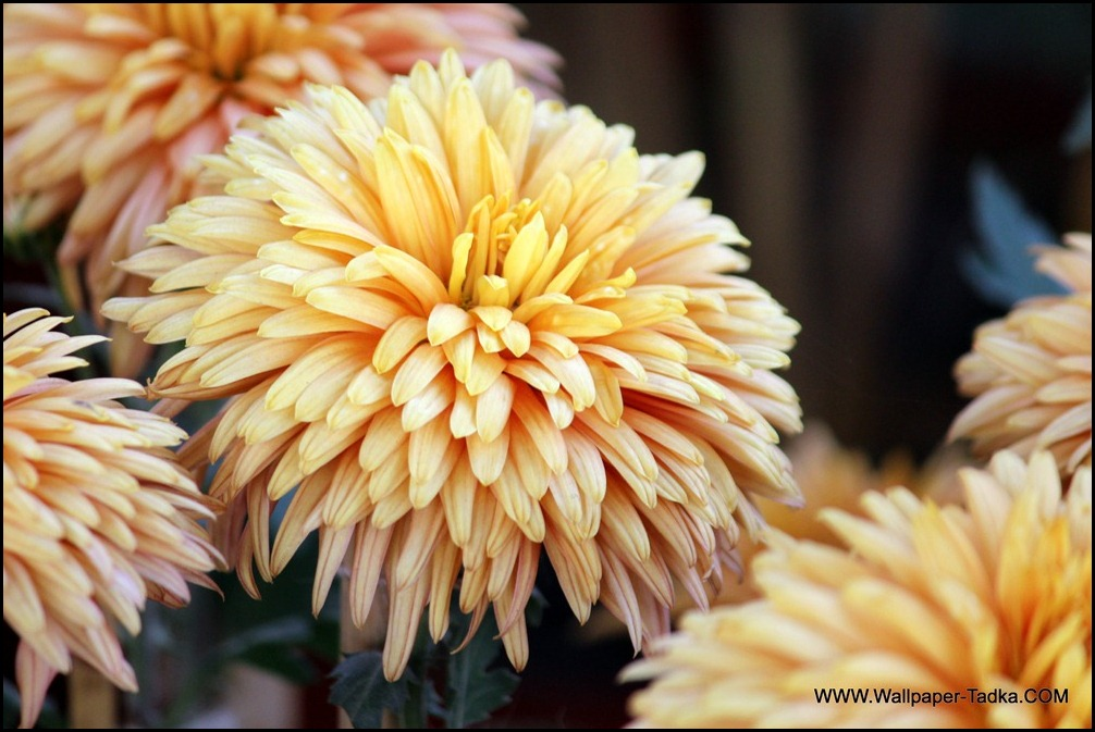 Peach Color Guldaudi Flower Image