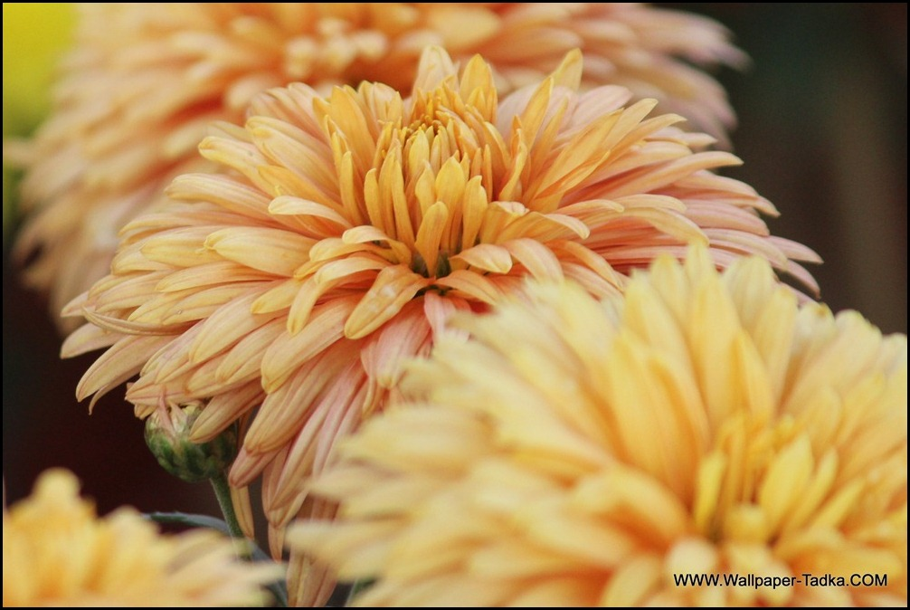 Lovely Peach Chrysanthemum Flower Picture