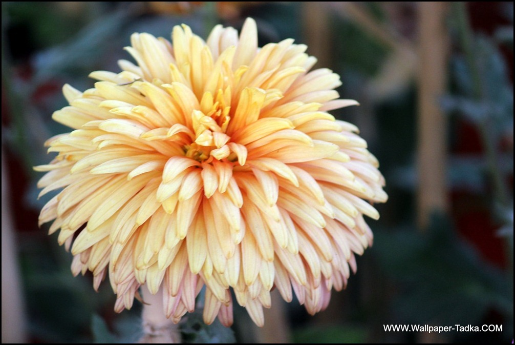 Peach Color Beautiful Chrysanthemum Flower