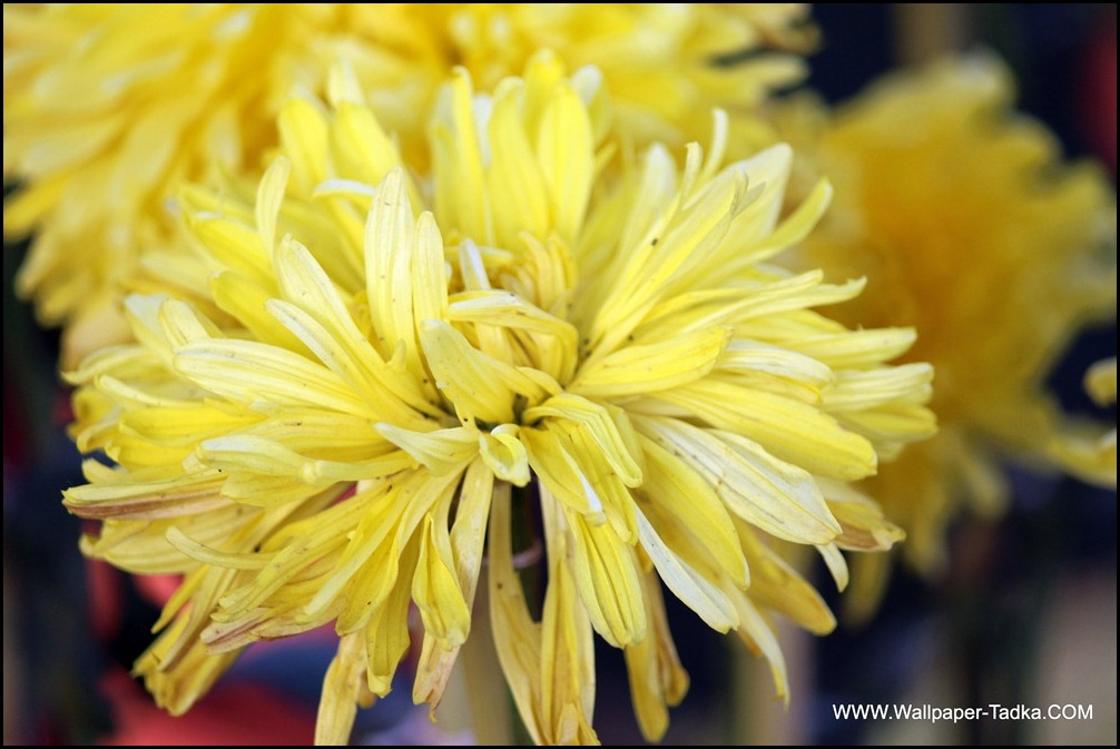 Yellow Color Big Chrysanthemum Flower Wallpaper