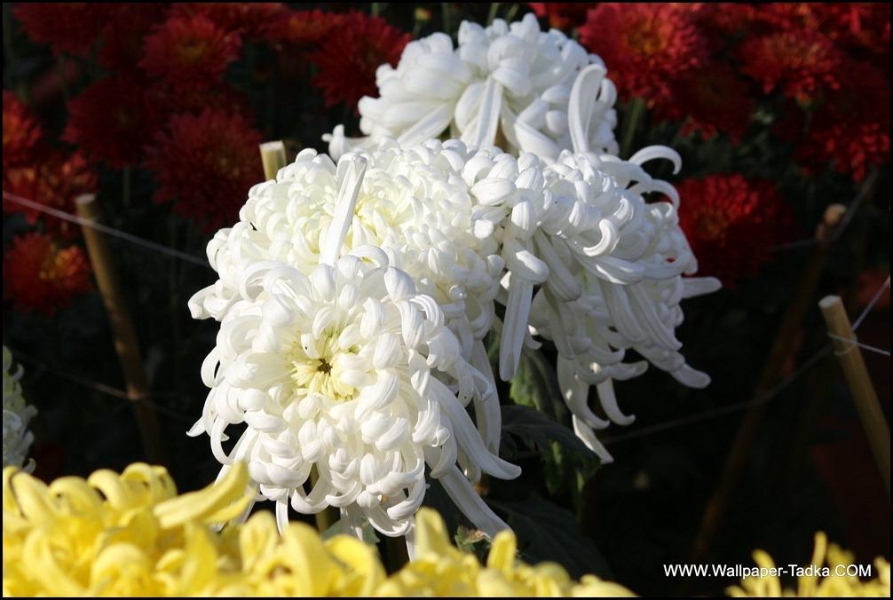 Guldaudi Flower Photography