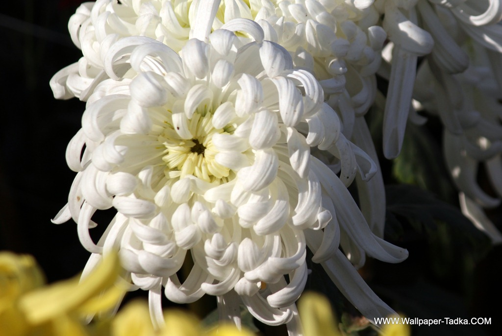 Stunning white chrysanthemum flower photography wallpaper tadka stunning white chrysanthemum flower photography mightylinksfo Choice Image