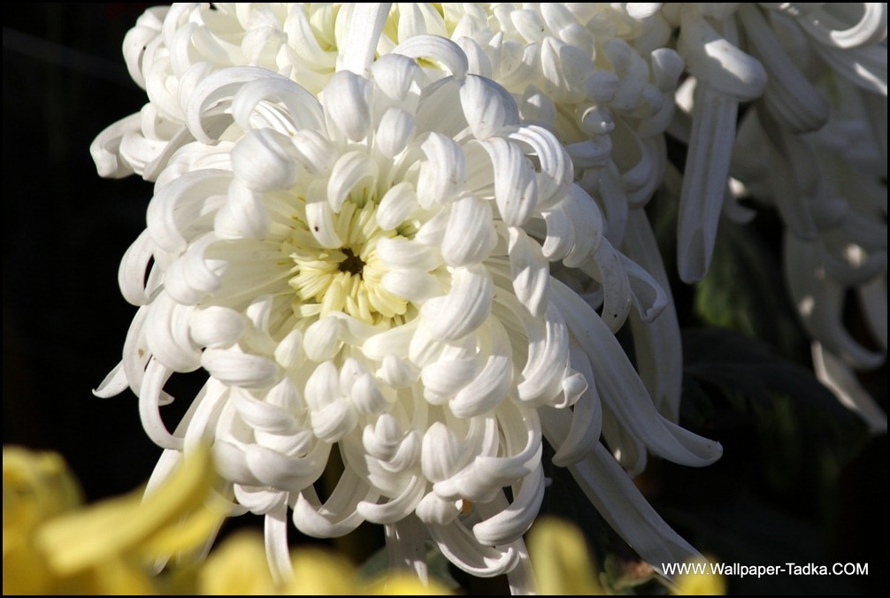 Stunning White Chrysanthemum Flower Photography