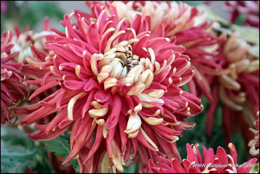 Lovely Dual Shade Guldaudi Flower Photography