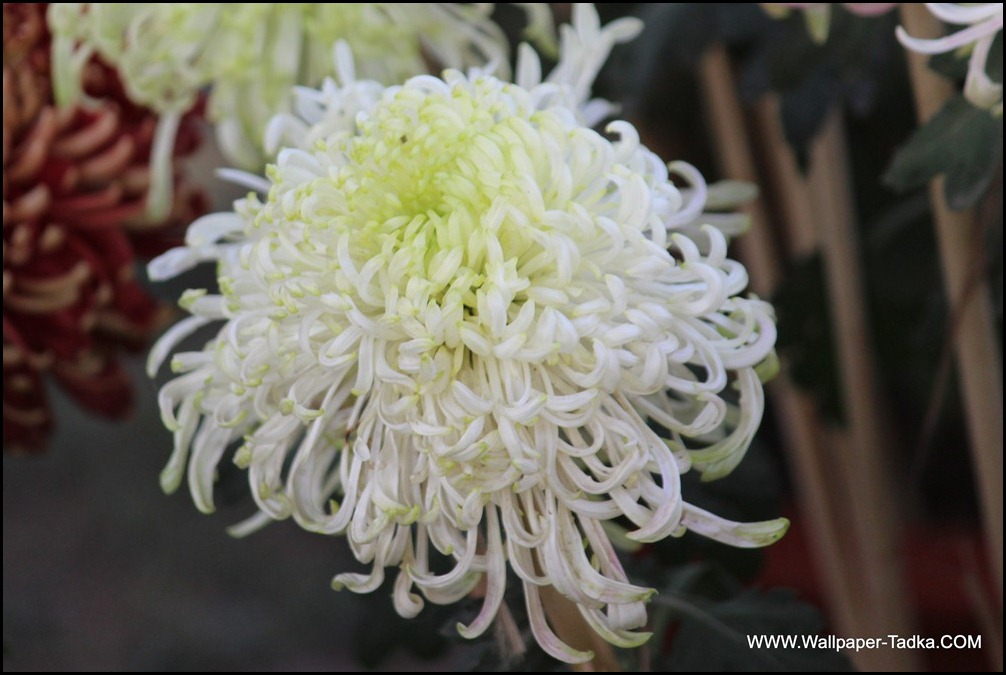 White Guldaudi Flower Wallpaper Chyrsanthemum