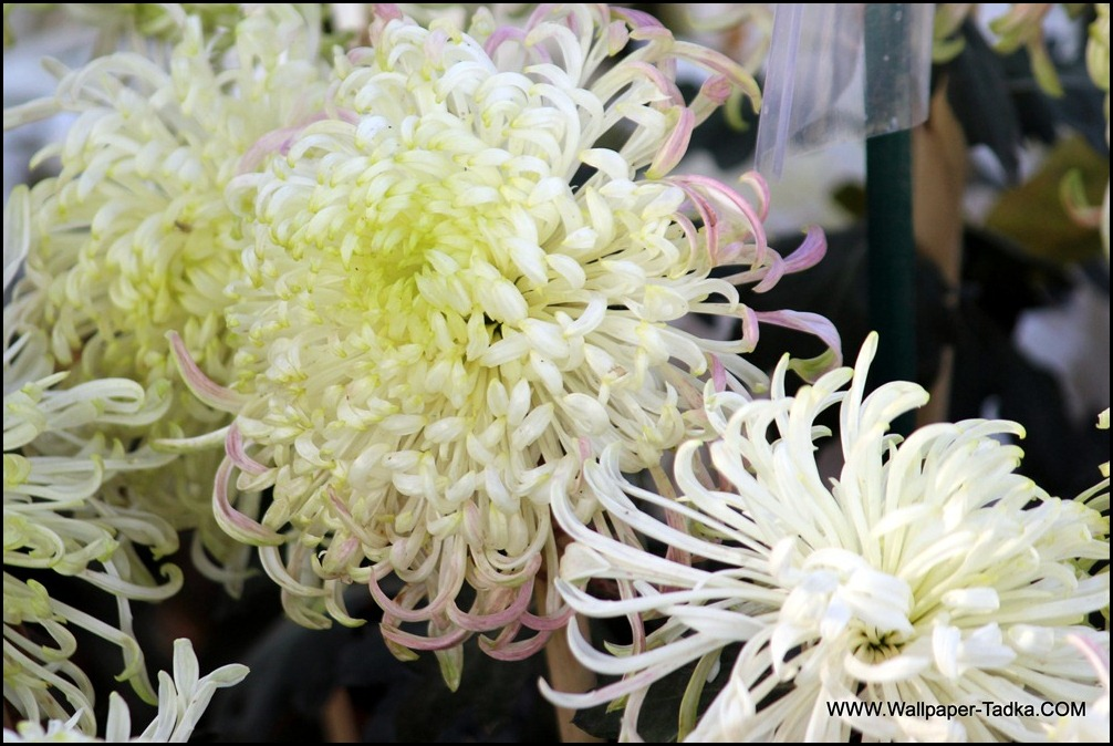 Big Cream Color Chrysanthemum Flower Wallpaper