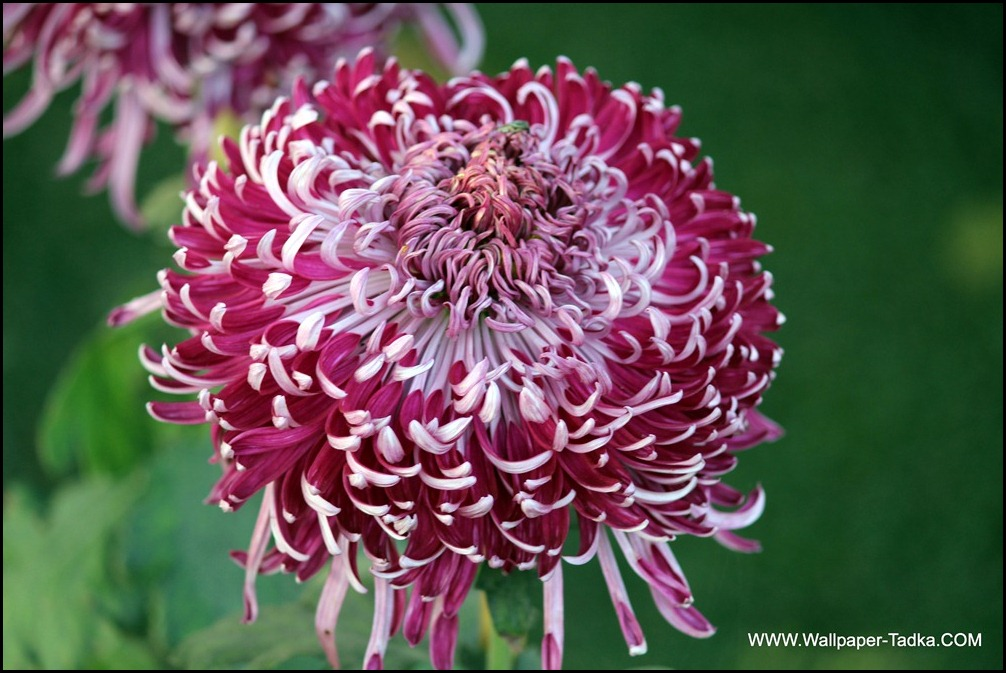 Chrysanthemum or  Guldaudi Flowers in Your Garden (125)