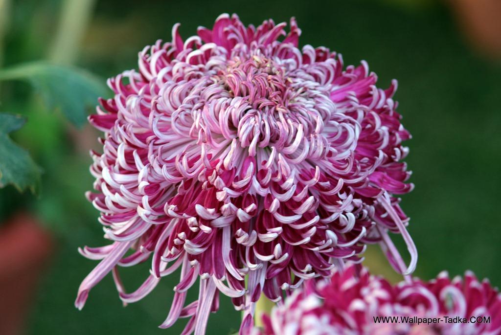 Big pink color chrysanthemum flowers wallpaper wallpaper tadka big pink color chrysanthemum flowers wallpaper mightylinksfo