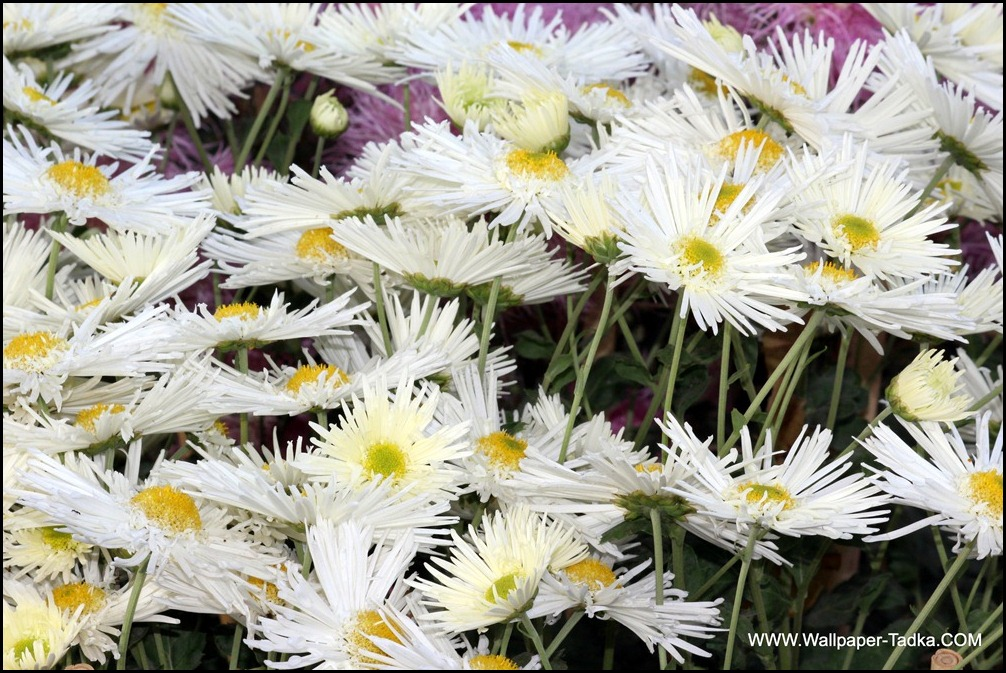 White Color Flowers Chrysanthemum Flowers