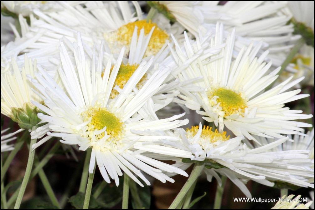Chrysanthemum or  Guldaudi Flowers in Your Garden (130)