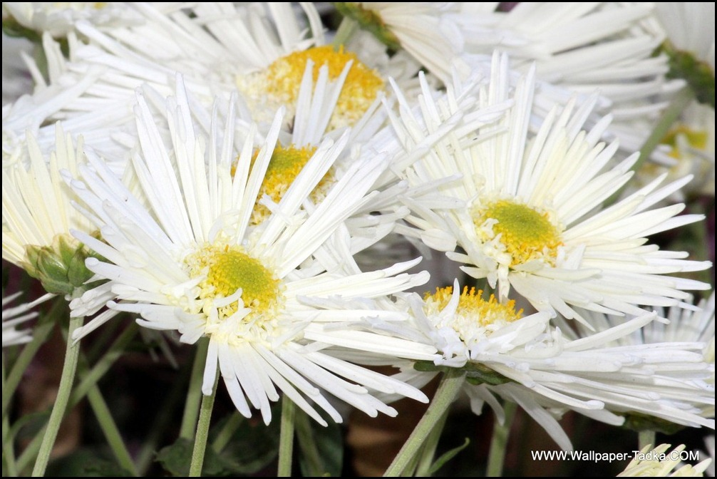Chrysanthemum or  Guldaudi Flowers in Your Garden (130)