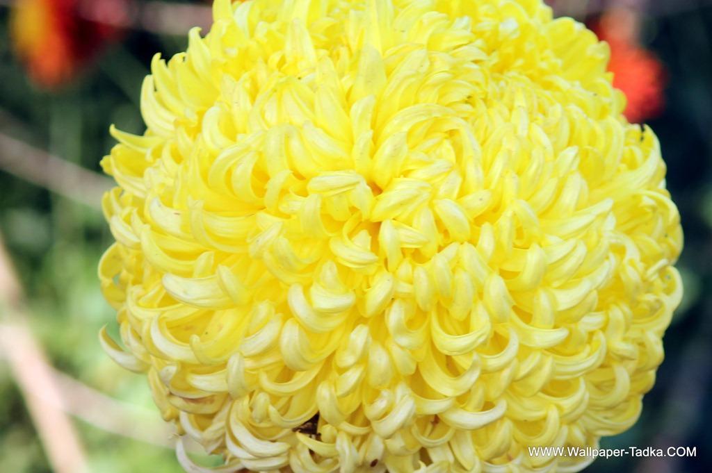 Big yellow color chrysanthemum flower photography wallpaper tadka big yellow color chrysanthemum flower photography mightylinksfo