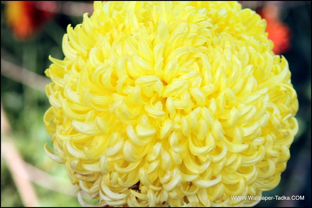 Big Yellow Color Chrysanthemum