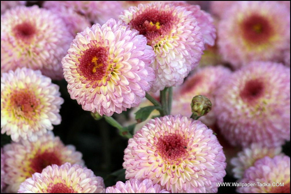 Chrysanthemum or  Guldaudi Flowers in Your Garden (132)