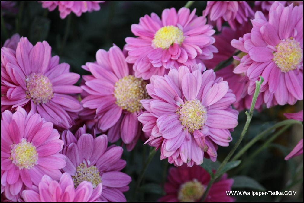 Lovely Chrysanthemum Flowers in Mauve Color