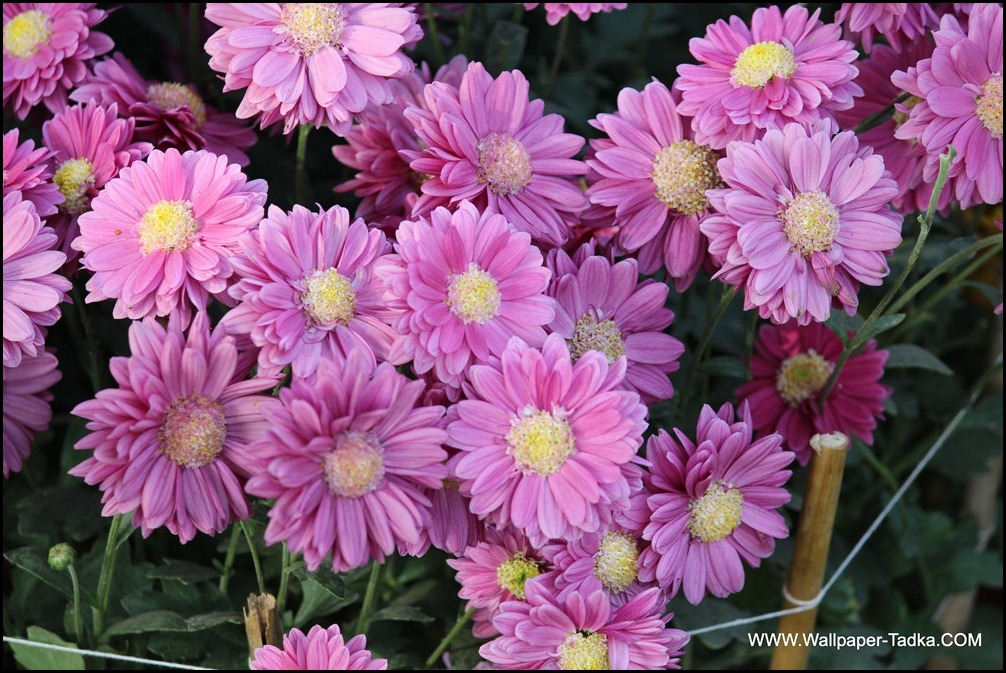 Pink Chrysanthemum Flowers Photography