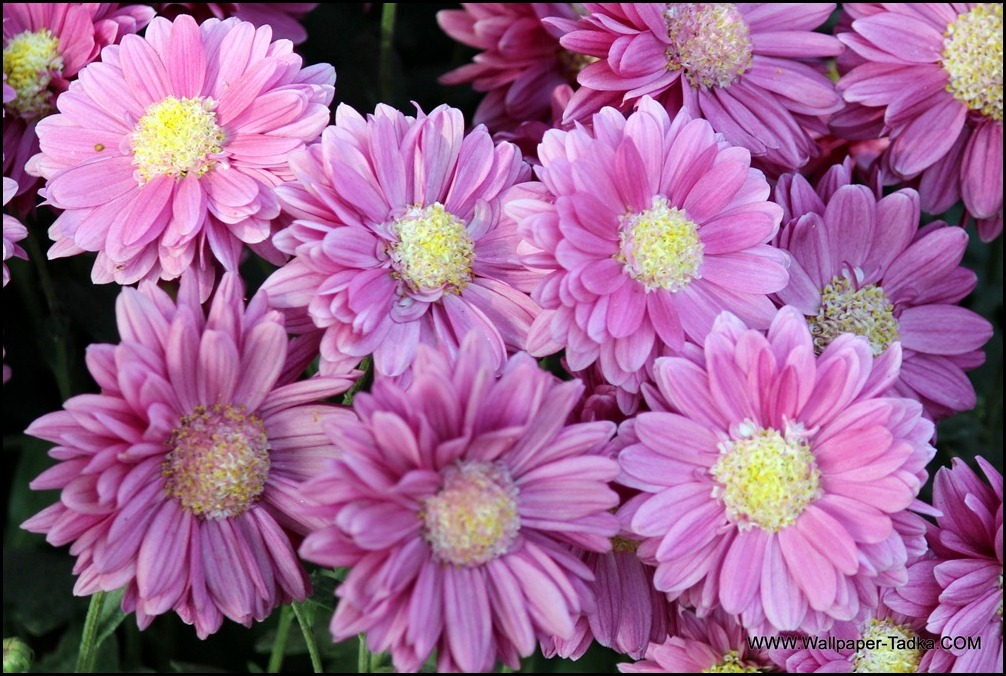 Chrysanthemum Flowers Picture