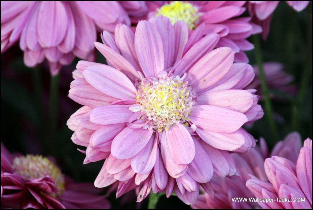 Mauve Color Stunning Chrysanthemum Flower