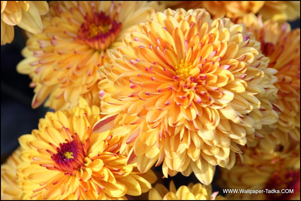 Yellow Color Chrysanthemum Flowers