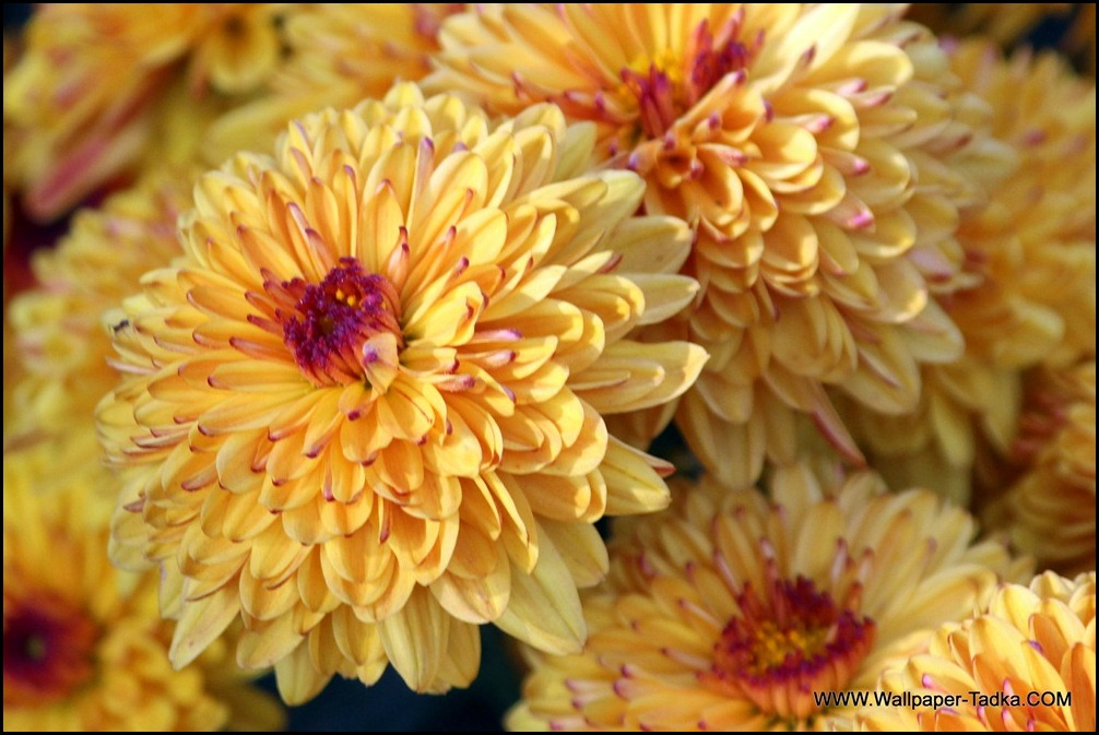 Chrysanthemum or  Guldaudi Flowers