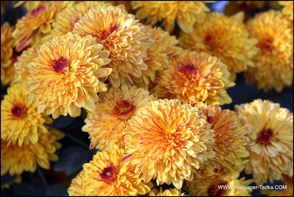 Peach Color Chrysanthemum Flowers