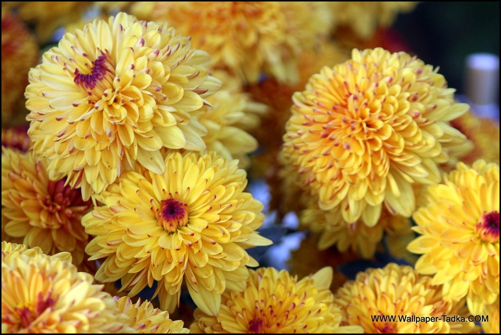 Chrysanthemum Flowers Wallpaper