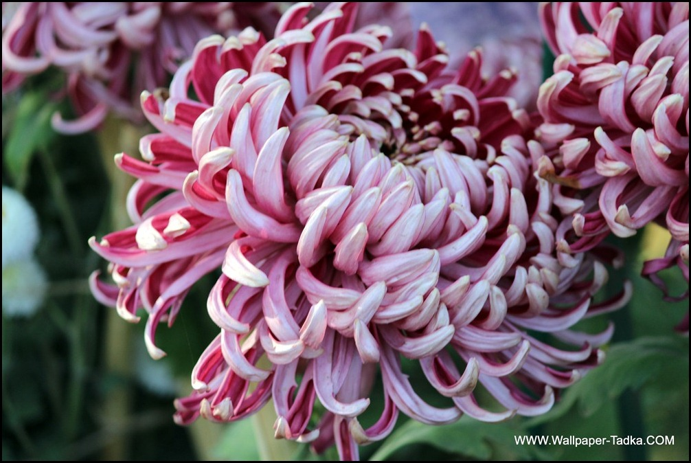 Beautiful Bloom Chrysanthemum in Pink Color