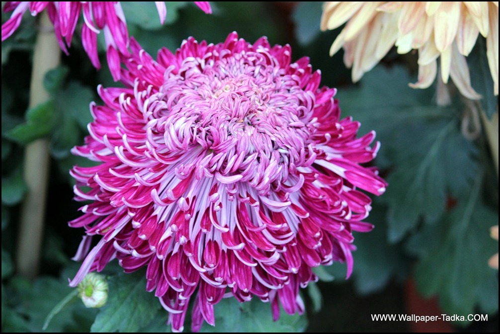 Pink Color Chrysanthemum Flower Wallpaper