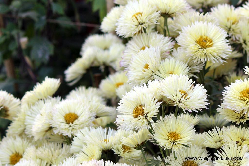 Beautiful white flowers chrysanthemum photograph wallpaper tadka white flowers chrysanthemum mightylinksfo
