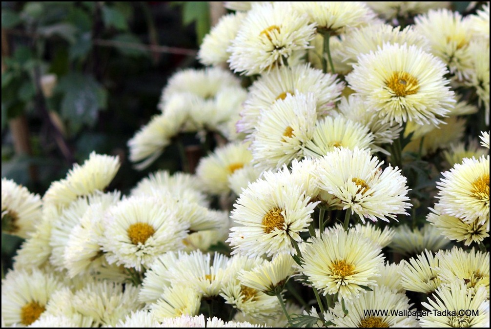 White Flowers Chrysanthemum