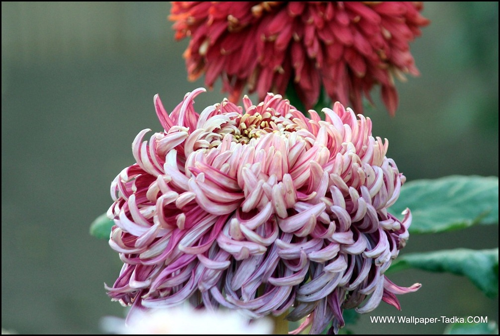 Pink Color Chrysanthemum Flower